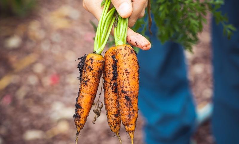 zanahorias recién sacadas de la tierra